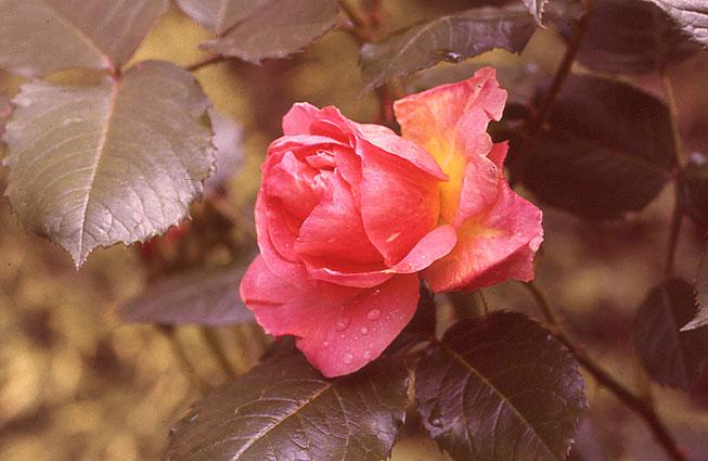 rosenbogen_29
