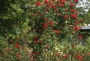 rosenbogen_10
